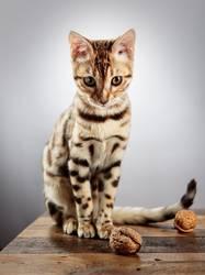 Bengalische Katze