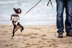 Mann mit Boston Terrier