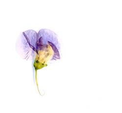 getrocknete und gepresste Blüte