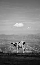Kuh mit Aussicht
