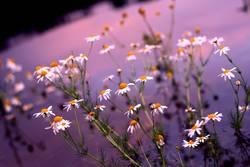 Blumensee