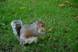Eichhörnchen mit Appetit.