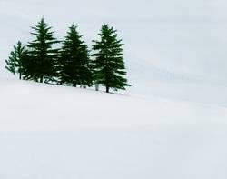 Tannen im Winter