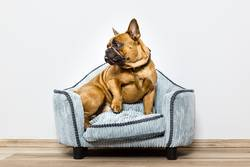 Bulldogge auf kleinem Sofa