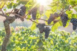 Rote Weintrauben im Gegenlicht