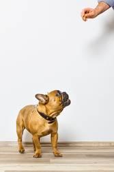 Bulldogge schaut nach Leckerchen