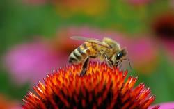 Kleine Honigbiene