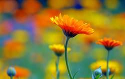 Ringelblumenwiese