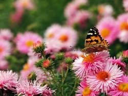 Distelfalter im Blumenmeer