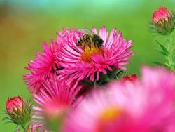Rosa Astern mit Biene