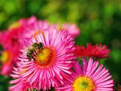 Biene auf rosa Aster
