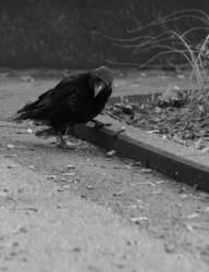 Die fündige Krähe