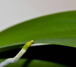 grüne baumwurmschlange