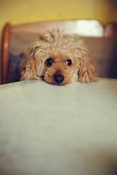 Schmollhund