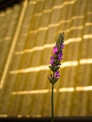 Flora flectata