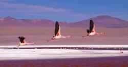 Flamingos flying over Laguna Colorada, Bolivia