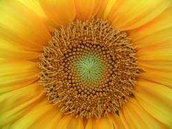 Sonneblume Detail