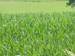 gras grün und saftig
