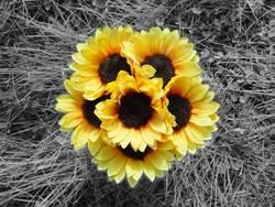 Sonnenblume(n)