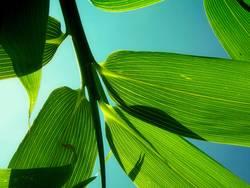 Bambus