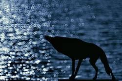 Böser Wolf