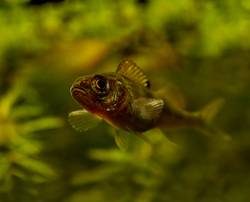 Kleiner Raubfisch