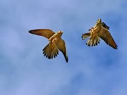 Zwei Falken zwei