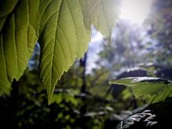 Viel Chlorophyll