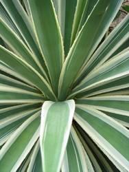 Kaktus - Agave