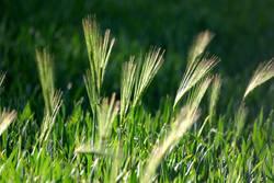 Grün ist das Feld