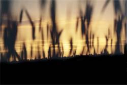 corn field dusk