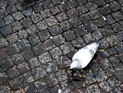 Einsame Taube