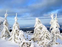Vier schneeweisse Tannen und ein blauer Himmel