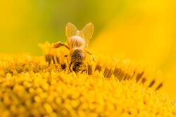 Makro Honig Biene taucht nach gelben Pollen auf Sonnenblume