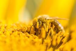 Biene bestäubt Pollen und sammelt Nektar auf Natur Sonnenblume