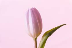 Einzelne rosa Blume Tulpe Blüte im Frühling Symbol der Liebe
