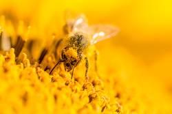 Makro Honig Biene sammelt gelbe Pollen auf Kopf in Sonnenblume