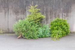 Traditional green christmas trees firs on street at xmas season