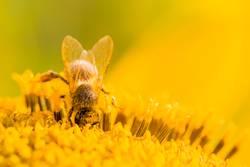 Makro Honig Biene sammelt tief gelbe Pollen auf Sonnenblume