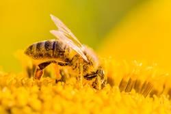 Makro Honig Biene sammelt gelbe Pollen auf Sonnenblume in Natur