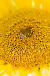 Honey bee covered with yellow pollen collecting sunflower nectar
