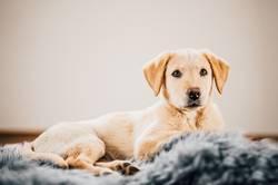 Hundewelpe / Labrador Retriever Pt.2