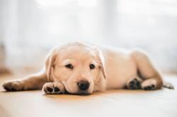 Hundewelpe / Labrador Retriever