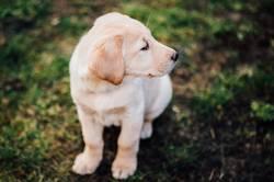 Sitzender Labrador Retriever