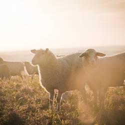 Schafe im Licht