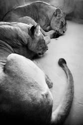 dreaming lions