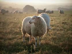 Schaf müsste man sein...