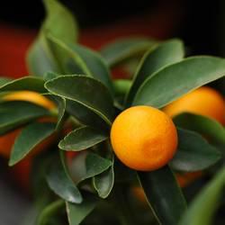 mandarina noon soon