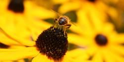 Biene von hinten