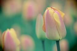 Tulpe im Feld